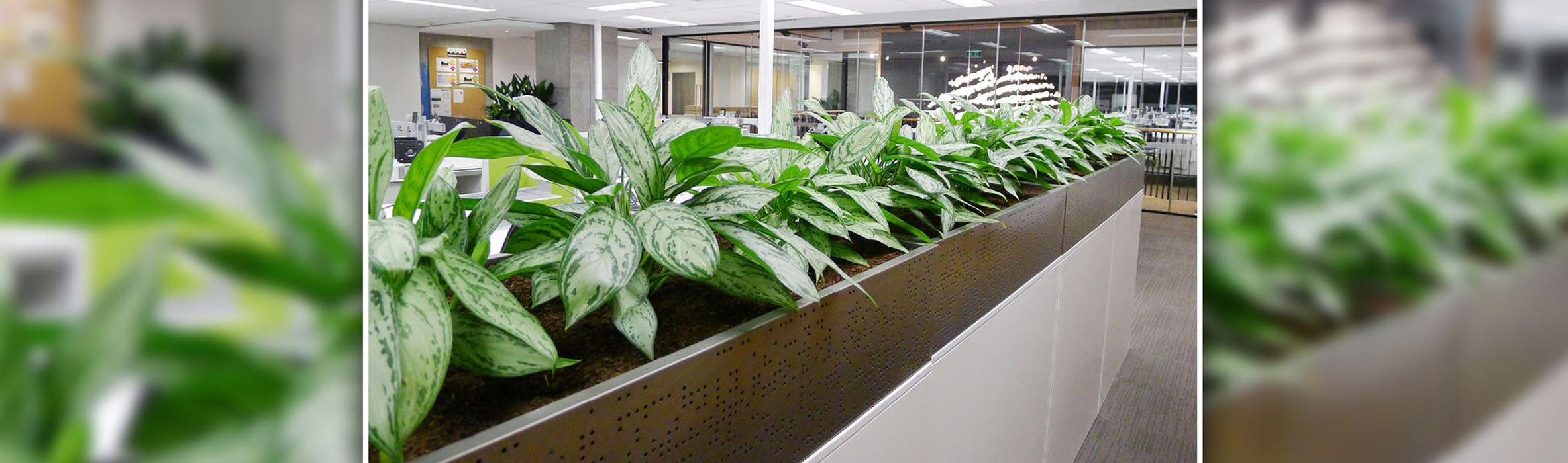 Good Beautify And Purify Your Work Environment With. Sydney Indoor Plant Hire